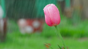 Pink tulip flower under rain. Raindrops on the petals of a flower Pink Tulip, slow motion stock video footage