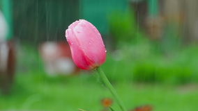 Pink tulip flower under rain stock video footage