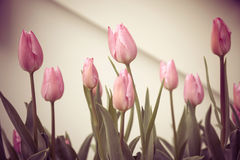 Pink Tulip flower. Tulip flower, Vintage filter with warm color Royalty Free Stock Photos