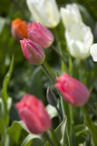 Pink tulip flower Stock Images