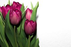 Pink tulip flower with white background stock photo