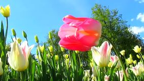 Pink tulip flower and wind. Beautiful garden with tulips. Spring flowering and nature landscape stock footage
