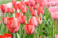 Pink tulip flowerbed Royalty Free Stock Photos