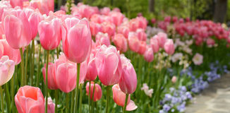 Pink tulip flowers blooming in the garden. Royalty Free Stock Photos