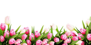 Pink tulip flowers border. Isolated on white background stock photos