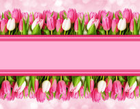 Pink tulip flowers borders and space for text. On pink background. Flat lay. Top view Royalty Free Stock Images