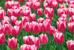 Pink tulip flowers field Royalty Free Stock Images