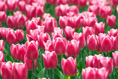 Pink tulip flowers field Stock Photo