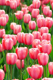 Pink tulip flowers field Royalty Free Stock Image