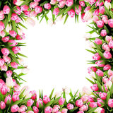 Pink tulip flowers frame Stock Images