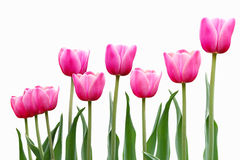 Pink Tulip Flowers Royalty Free Stock Images