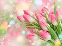 Pink tulip flowers Spring nature background. Pink tulip flowers. Spring nature bokeh background royalty free stock image