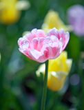 Pink tulip in the foreground and yellow Royalty Free Stock Photo
