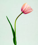 Pink Tulip. Fresh cut tulip pictures taken in studio royalty free stock photography