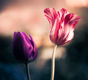 Pink tulip Royalty Free Stock Photos