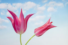 Pink Tulip in front of blue sky Stock Photos