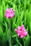 Pink tulip Royalty Free Stock Photography