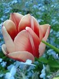 Pink tulip. In the garden Royalty Free Stock Images