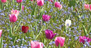 Pink Tulip Garden In Springtime stock video