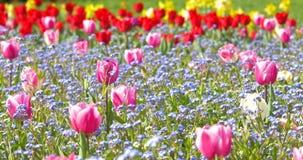 Pink Tulip Garden In Springtime. Background stock footage