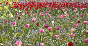 Pink Tulip Garden In Springtime stock video footage