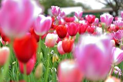Pink Tulip with blured forground royalty free stock photos