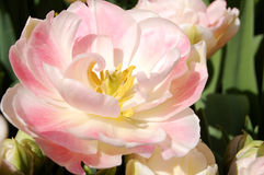 Pink Tulip Hybrid. Beautiful white and pink tulip hybrid in the sun stock images