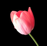 Pink tulip isolated on black Royalty Free Stock Photos