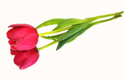 Pink tulip isolated - mirror flower stock photography