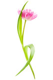 Pink tulip, isolated Royalty Free Stock Photo