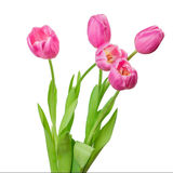 Pink tulip isolated Stock Images