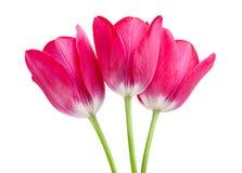 Pink tulip isolated. On white background royalty free stock image