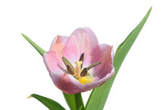 Pink tulip isolated on white Royalty Free Stock Image
