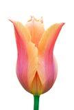 Pink tulip. Royalty Free Stock Photos