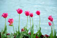 Pink tulip with lake background Stock Photos