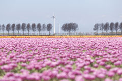 Pink tulip landscape with trees and wind turbine in holland Royalty Free Stock Photos
