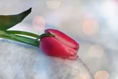 Pink tulip lies in the snow Tulipa with light reflexion ions. Pink tulip lies in the snow Tulipa  with light reflexion ions and  with leaf Stock Image