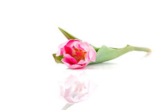 Pink tulip lying on table. Over white background Royalty Free Stock Image
