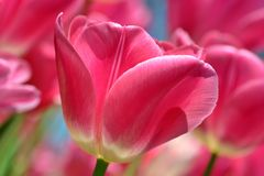 Pink Tulip Macro. Bright Pink tulips mass flowering Royalty Free Stock Images