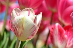 Pink Tulip Macro 2 Royalty Free Stock Photo