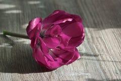 Pink tulip macro background Stock Photos