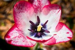 Pink tulip macro Stock Photo