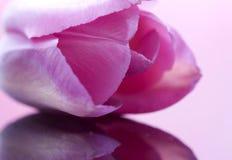Pink Tulip Macro Royalty Free Stock Photography
