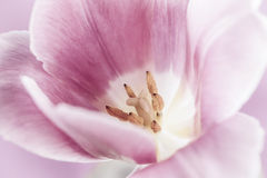 Pink tulip macro Stock Images