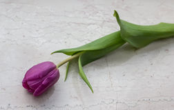 Pink tulip on a marble background Stock Photo