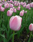 Pink Tulip On Garden Stock Photo