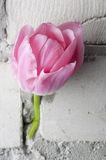 Pink tulip over grey brick wall Royalty Free Stock Photos
