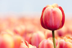Pink tulip photographed with a selective focus Royalty Free Stock Image