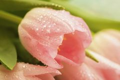 Pink tulip with raindrop, dew of salmon, pale pinkish orange, light pink color close-up, macro. Spring flowers, abstract. Pink tulip with dew of salmon, pale stock photography