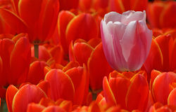 Pink tulip and red ones Royalty Free Stock Image